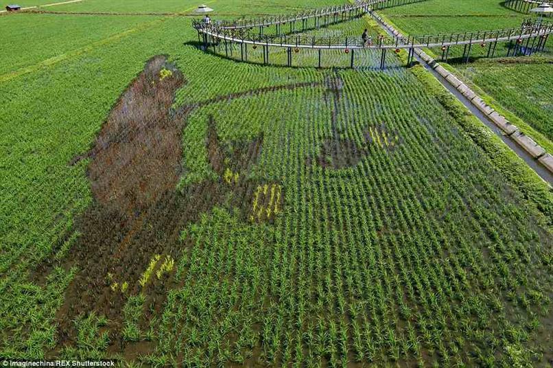 بالصور: مزارعون يبتكرون صوراً في حقول الأرز بتقنية ثلاثية الأبعاد لجذب السياحة